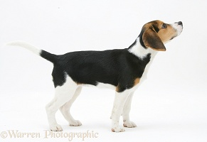 Beagle pup sniffing the air