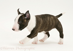 English Bull Terrier pup