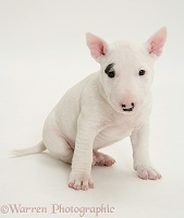 Miniature English Bull Terrier pup, 6 weeks old