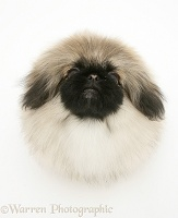 Pekingese pup looking up