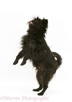 Affenpinscher standing on hind legs