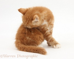 Ginger kitten grooming his back