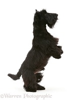 Black Scottie dog