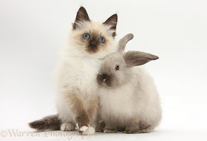 Birman-cross kitten and young colourpoint rabbit