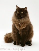 Chocolate Birman-cross cat