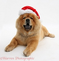 Chow Chow dog wearing a Santa hat