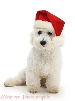 Bichon Frise with a Santa hat on