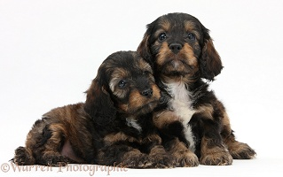 English Cockapoo pups, 6 weeks old