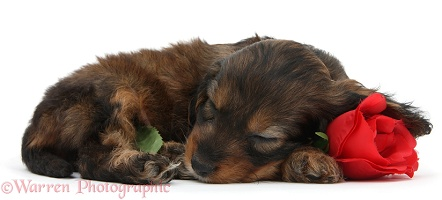 Sleeping English Cockapoo pup, 6 weeks old, with rose