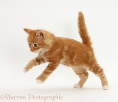 Ginger kitten running