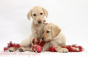 Yellow Labrador Retriever pups playing with decorations