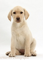 Yellow Labrador Retriever puppy, 10 weeks old, sitting