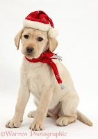 Yellow Labrador Retriever pup with scarf and Santa hat