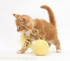 Ginger kitten playing with a ball of yellow wool