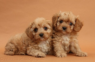 Two Cavapoo pups