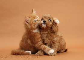 Ginger kitten hugging Cavapoo pup on brown background