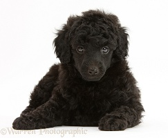 Black Toy Poodle pup, 7 weeks old