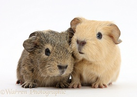Baby yellow and agouti Guinea pigs