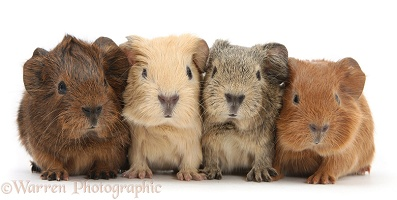 Four baby Guinea pigs in a row