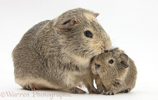 Yellow-agouti adult and baby Guinea pigs