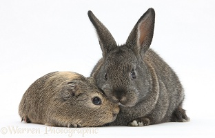 Baby agouti rabbit and baby yellow-agouti Guinea pig
