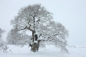 Oak tree with snow in Albury Park