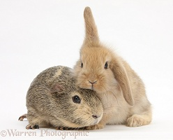 Yellow-agouti Guinea pig and baby Sandy Lop rabbit