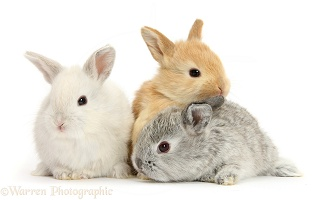 Three cute baby Lop rabbits