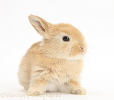 Baby Lop rabbit