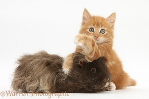 Ginger kitten, 7 weeks old, and shaggy Guinea pig
