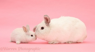 White Lop rabbits on pink background