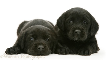 Two Black Labrador puppies
