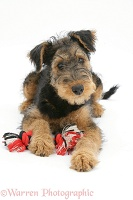 Airedale Terrier bitch pup with ragger toy