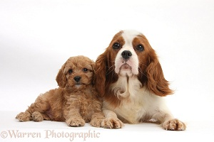 Cavalier King Charles Spaniel and Cavapoo pup