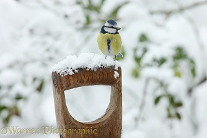 Blue tit on fork handle