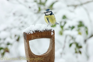 Blue tit on spade handle