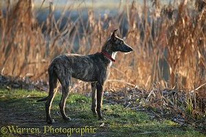 Deerhound lurcher