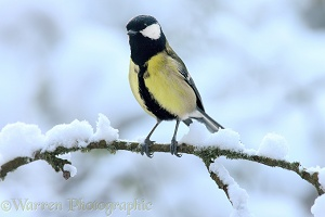 Great tit in snow
