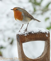 Robin on spade handle