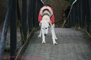 Saluki Lurcher on a bridge