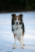 Sable Border Collie in snow