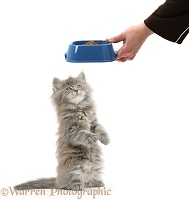 Maine Coon kitten, 7 weeks old, getting some food