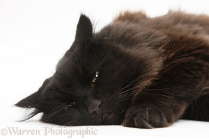 Dark chocolate cat lying down