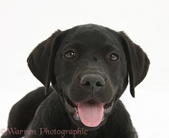 Black Labrador Retriever pup