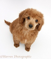 Apricot miniature Poodle pup, looking up