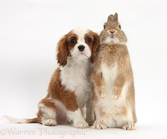 King Charles Spaniel pup and Netherland dwarf rabbit