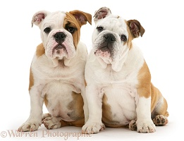 Two Bulldog pups