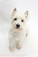 Westie sitting and looking up
