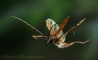 Longhorn beetle in flight