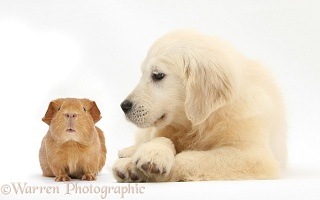 Golden Retriever pup and red Guinea pig